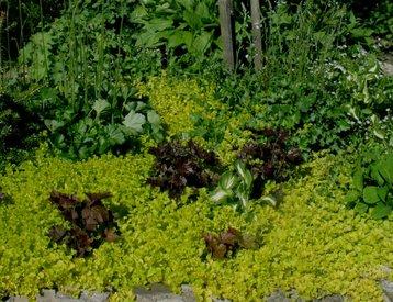 Matta med lite högre marktäckande blommande växter och vackra blad